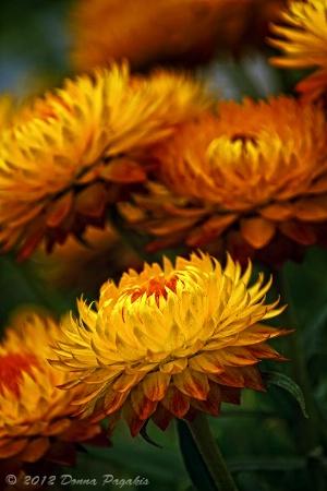 Golden Straw Flowers
