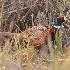 © Leslie J. Morris PhotoID # 13554299: Ring-Necked Pheasant Male