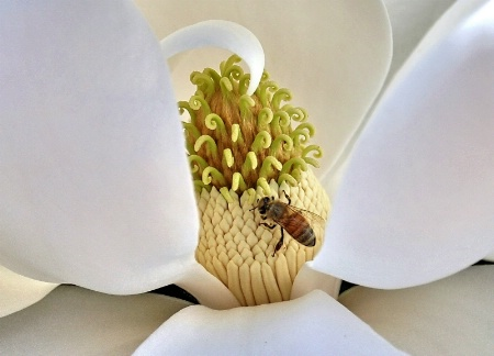 Honey Bee & Magnolia Blossom