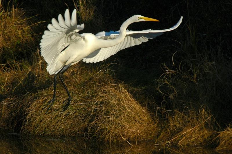 egret at dawn - ID: 13557643 © Dawn Miller