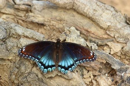 Swallowtail on a Log
