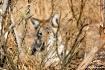 Coyote in the bru...