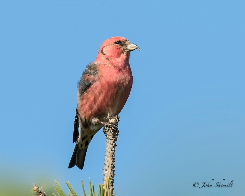 White-winged Crossbill - Nov 11th, 2012 - ID: 13568065 © John Shemilt