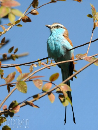 Racket-tailed Roller in the Fall