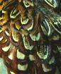 Pheasant    Feath...