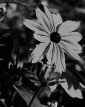 Black Eye Suesan Black Bnd White
