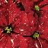 © Theresa Marie Jones PhotoID # 13576703: Poinsettia