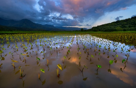Taro Field Reflections