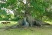 Ceiba Tree in Vie...