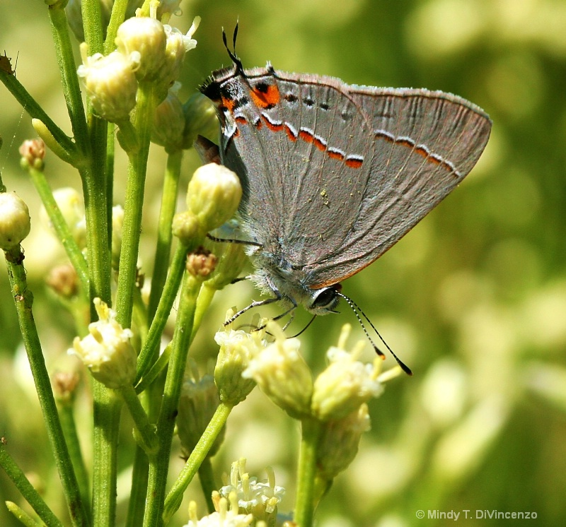 Mariposa - Grey Butterfly - ID: 13590471 © Mindy T. DiVincenzo