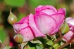 Roses  and  Buds