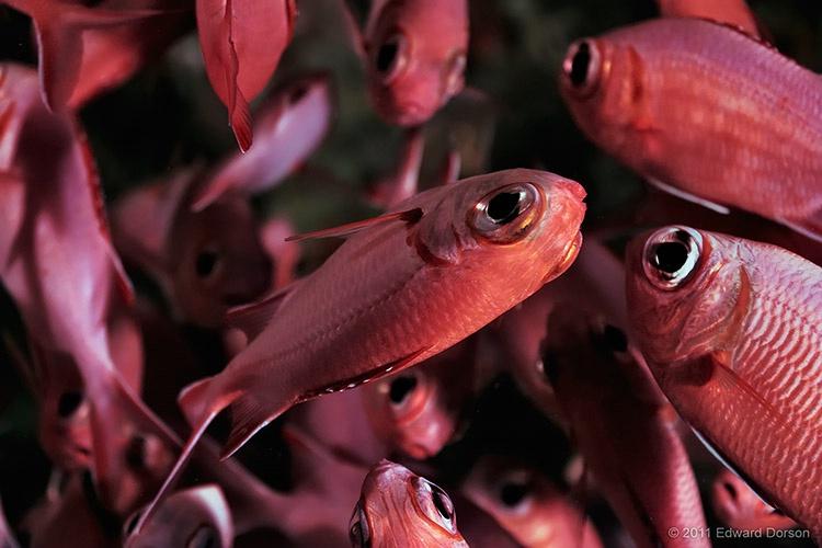 Bigeye Soldierfish - ID: 13594005 © Edward Dorson