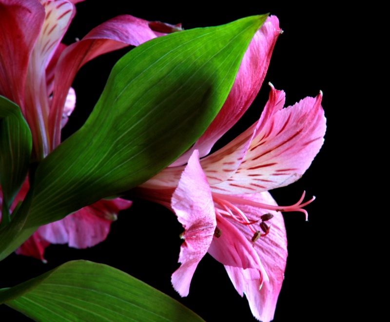 A Lilly for Allison