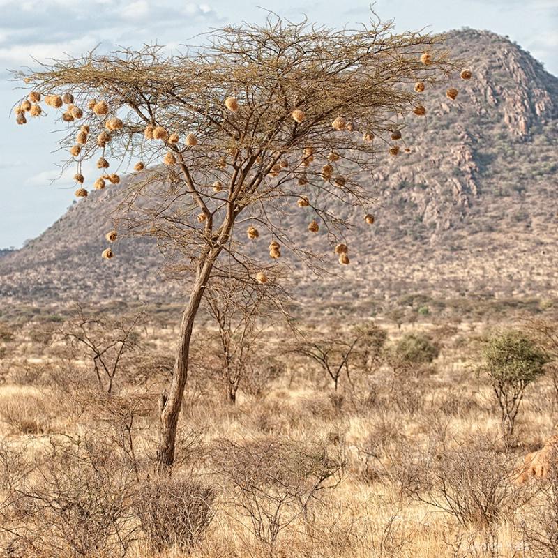 weaver tree - ID: 13615279 © Annie Katz