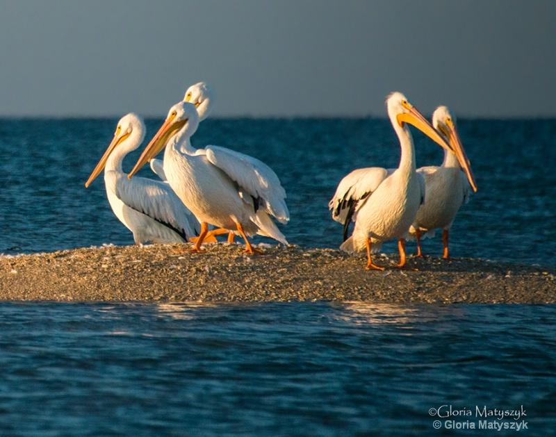 White Pelicans after sunrise, Everglades, FL