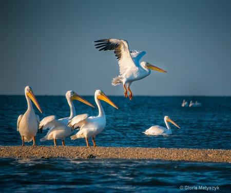 White pelican in flight, Everglades, FL