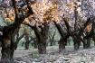 almond tree bloss...
