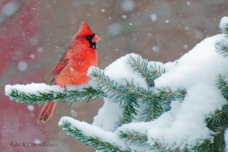 Frosty cardinal