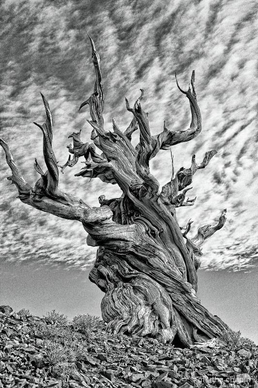 Bristle cone  Pine - ID: 13627882 © Martha Chapin