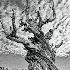 © Martha Chapin PhotoID # 13627882: Bristle cone  Pine