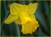 Daffodil (Jonquil...