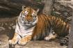 The  Tiger  Sleep...
