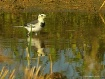White Wagtail (Mo...