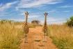 giraffes looking ...
