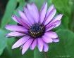 purple daisy 6