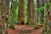 Big Basin Redwood...