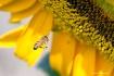 macro bee and sun...