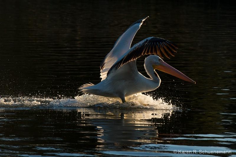 Backlit Pelican