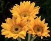 3sunflowers 20