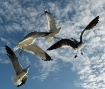 Seagulls in Fligh...