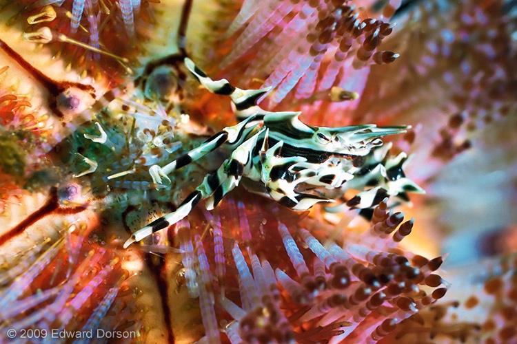 Zebra Crab in Fire Urchin - ID: 13647553 © Edward Dorson