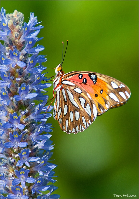 Gulf Fritillary on Pickerelweed - ID: 13648288 © Thomas R. Wilson