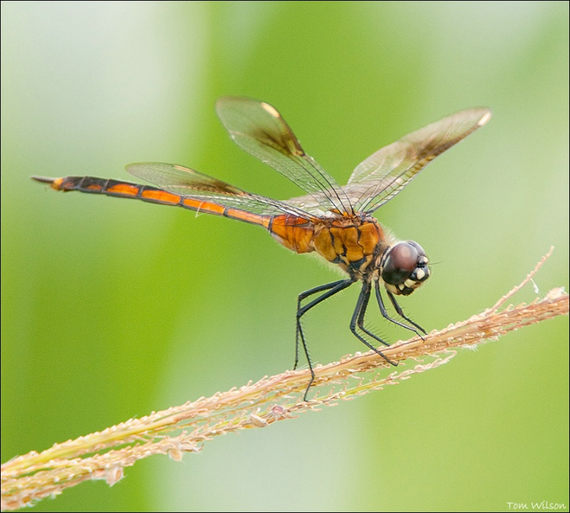Four-spotted Pennant - ID: 13648293 © Thomas R. Wilson
