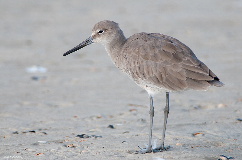 Willet - ID: 13648295 © Thomas R. Wilson