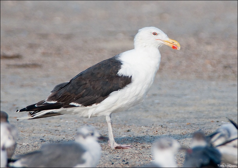 Greater Black-backed Gull - ID: 13648296 © Thomas R. Wilson