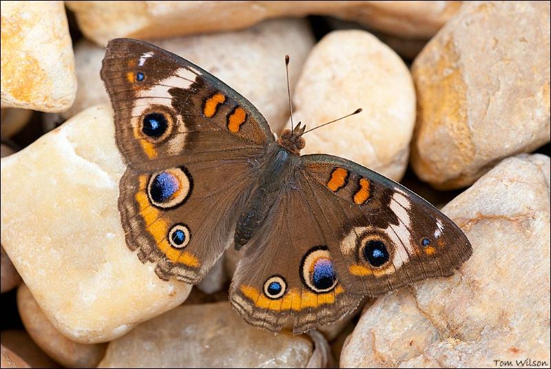 Common Buckeye - ID: 13648368 © Thomas R. Wilson