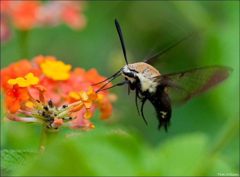 Hummingbird Moth - ID: 13648371 © Thomas R. Wilson