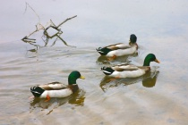 MALLORDS ON MULBERRY LAKE