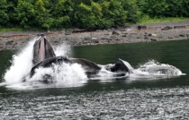 Whales bubbling at Icy Strait, AK