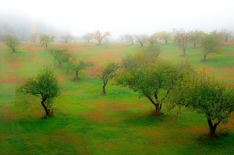 Apple Orchard in Fog