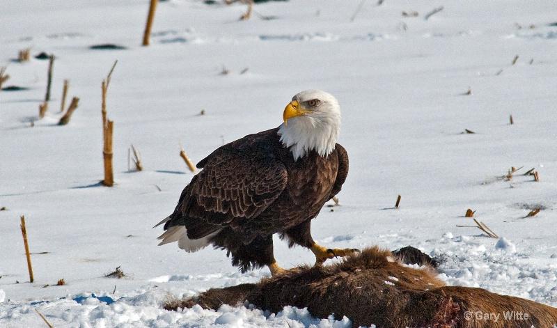 A Hungry Eagle