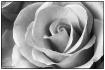 Landon's Rose