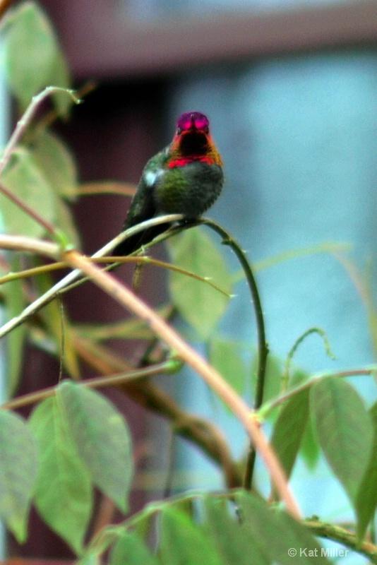 Red Headed Step Bird