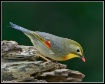 Red-billed Leioth...