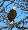 Eagle on Candlewo...