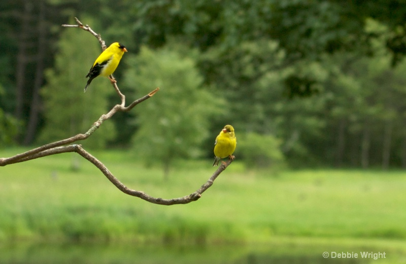 Goldfinches - ID: 13668348 © deb Wright